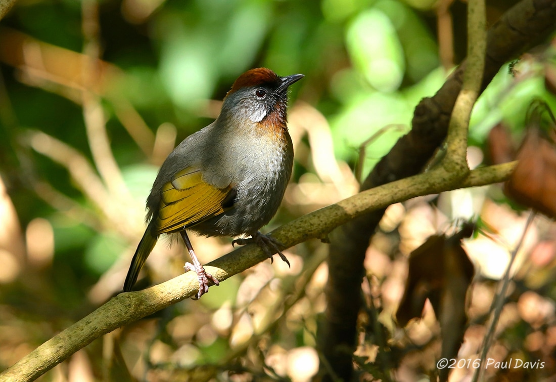 Silver-eared laughingthrush from Doi Inthanon.jpg