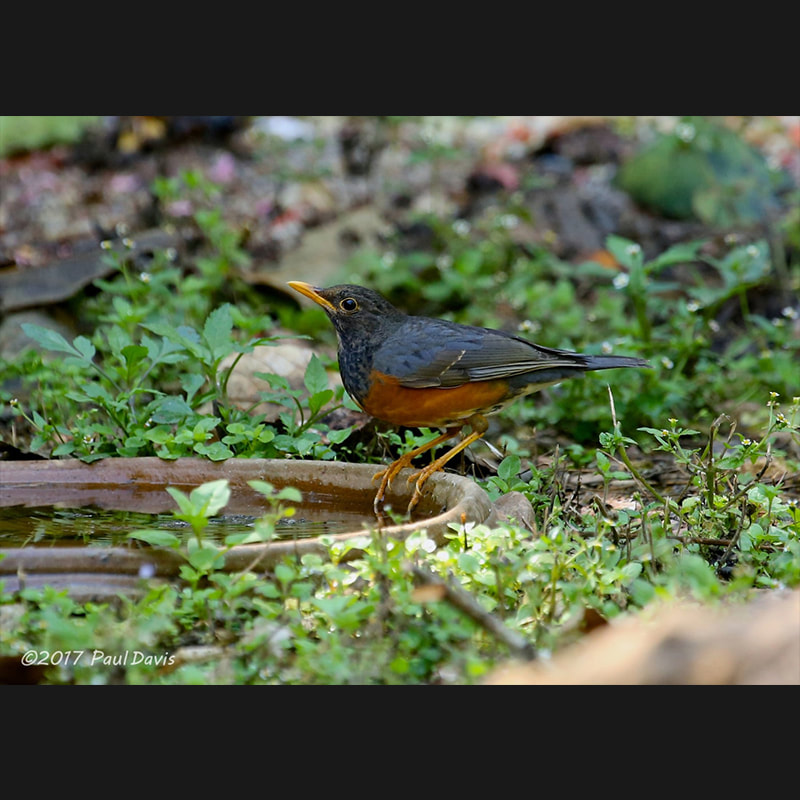 Turdus dissimilis Black-breasted Thrush.jpg