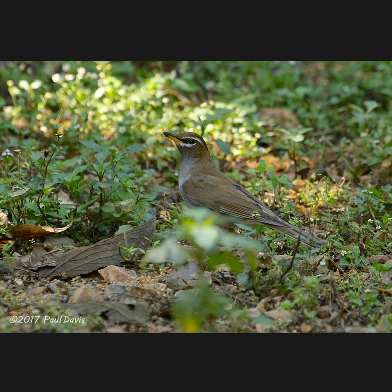 Turdus feae Grey-sided Thrush.jpg