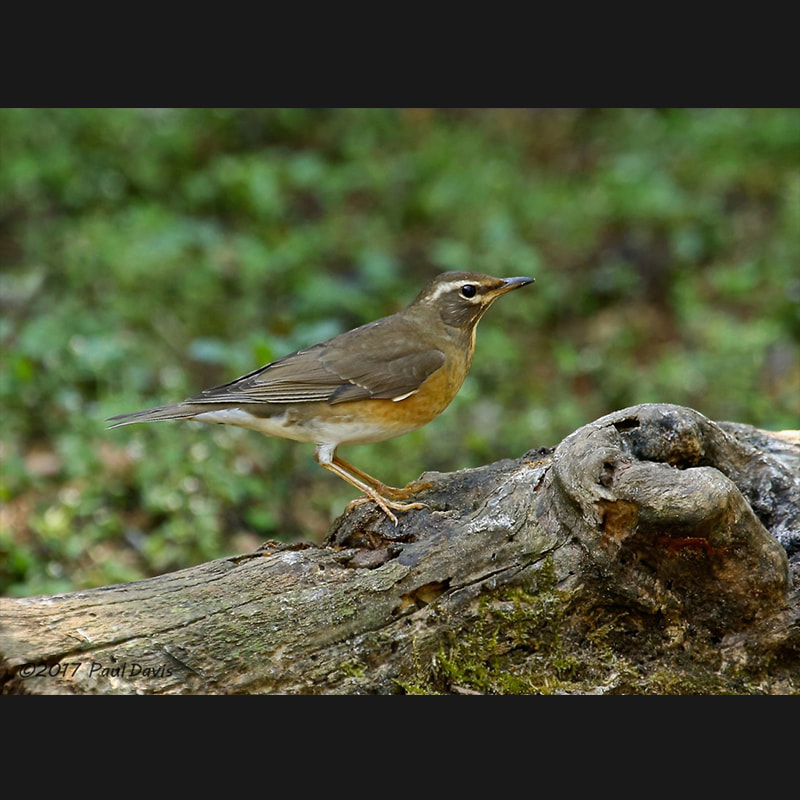 Turdus obscurus Eyebrowed Thrush.jpg