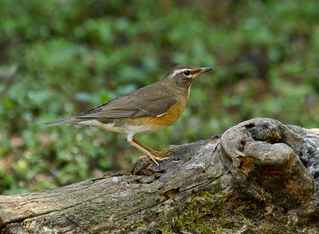 Eyebrowed thrush, Turdus obscurus.jpg