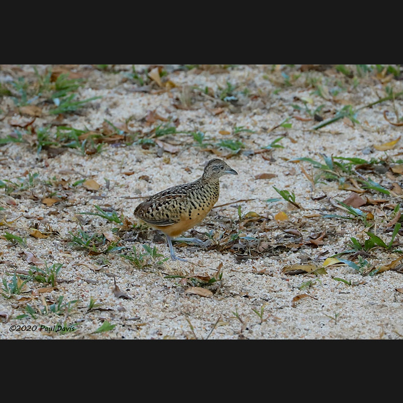 Turnix suscitator Barred Buttonquail,jpg