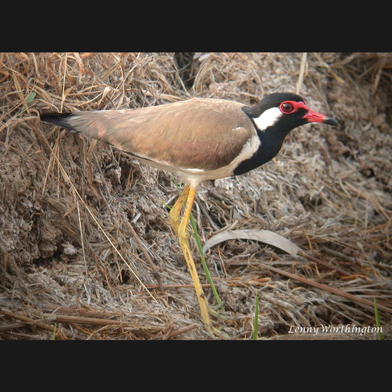 Vanellus indicus Red-wattled Lapwing.jpg