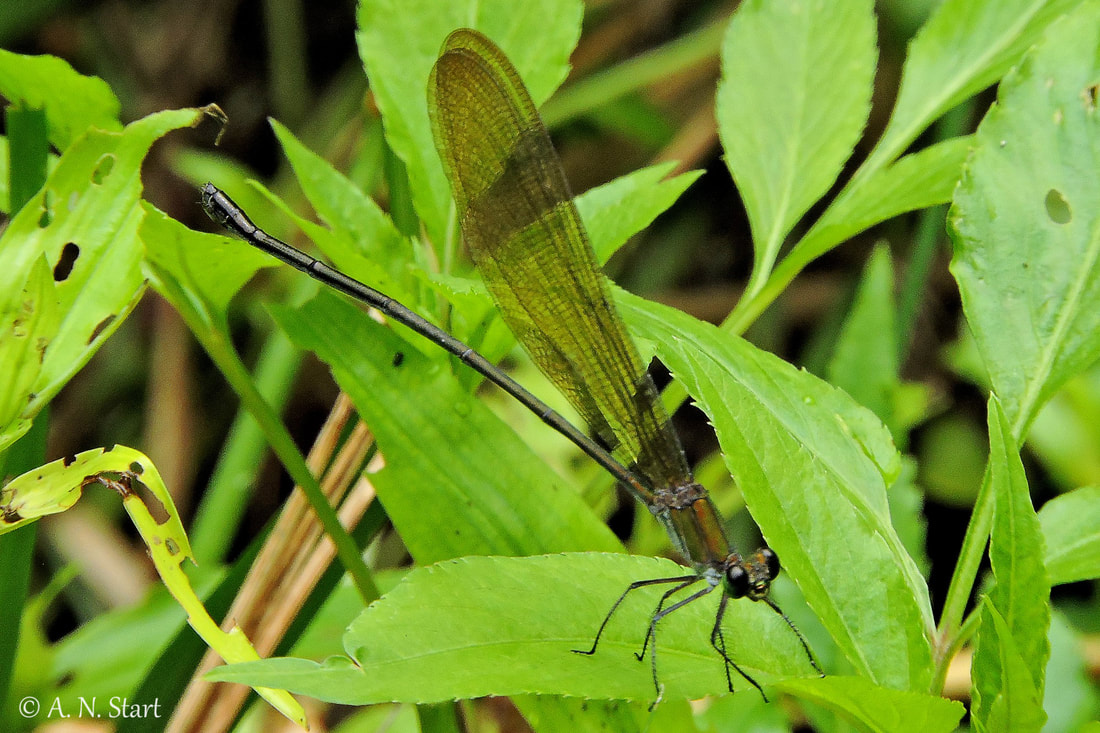 Vestalis amoena female Huay Kaew Waterfall Doi Suthep NP August 2016.jpg