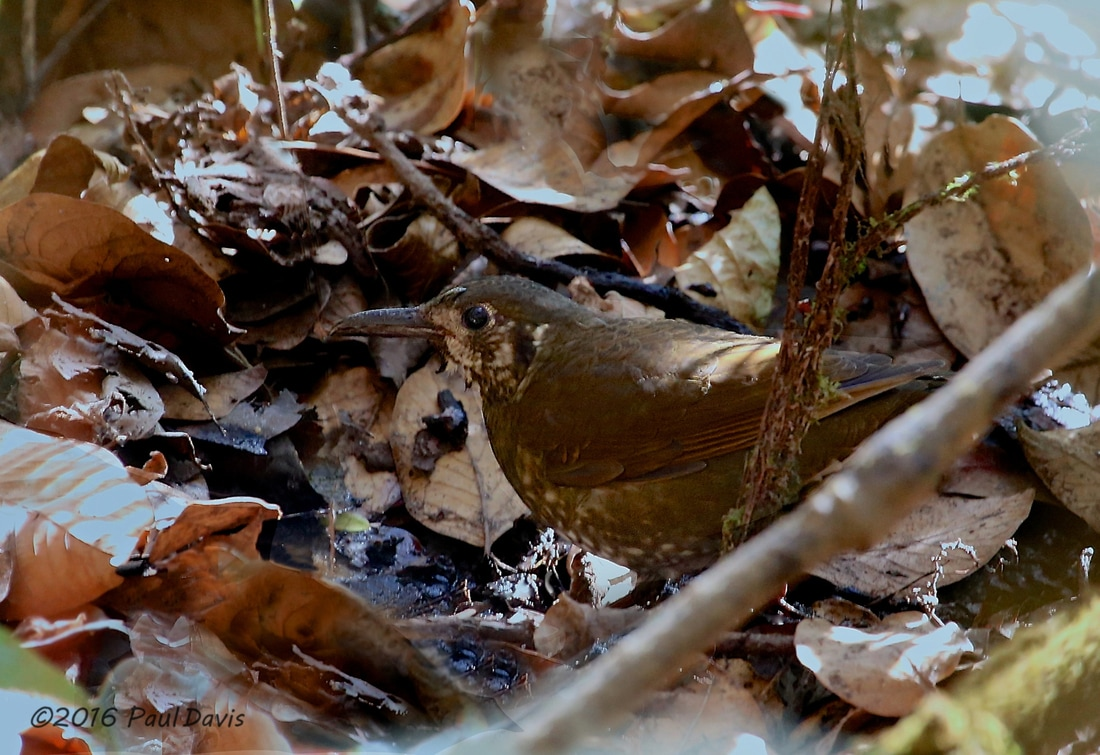 Dark-sided thrush, Zoothera marginata.jpg