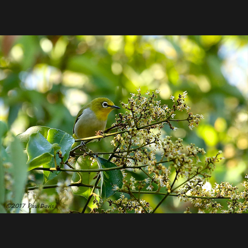 Zosterops palpebrosus Indian White-eye.jpg